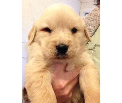 AKC Golden Retriever FEMALE Pup