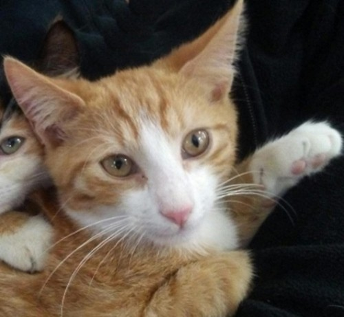 Adopt Ricky a Orange or Red (Mostly) Domestic Shorthair / Mixed (short coat) cat