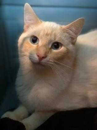 Adopt Jerry a Cream or Ivory Siamese / Mixed cat in Richmond, IN (20546136)