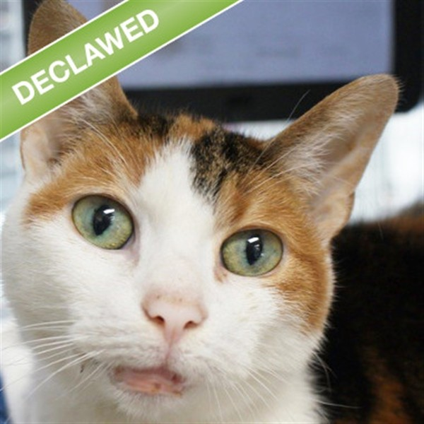 Adopt Pumpkin a Domestic Shorthair / Mixed cat in Des Moines, IA (20711979)