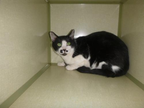 Adopt 116769 a Black & White or Tuxedo Domestic Shorthair / Mixed (short coat)