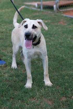 Adopt Cal a Tan/Yellow/Fawn Black Mouth Cur / German Shepherd Dog / Mixed dog in
