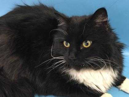 Adopt Gibbs a All Black Domestic Mediumhair / Domestic Shorthair / Mixed cat in
