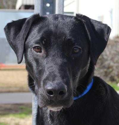 Adopt Captain a Black Labrador Retriever / Mixed dog in Columbiana