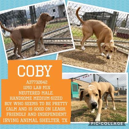 Adopt Coby a Tan/Yellow/Fawn Labrador Retriever / Mixed dog in Irving