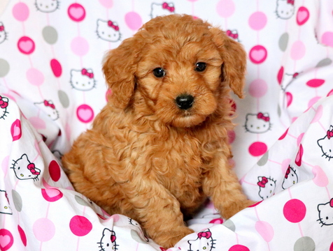 Goldendoodle PUPPY FOR SALE ADN-60671 - F1b Mini Goldendoodle Puppy for Sale