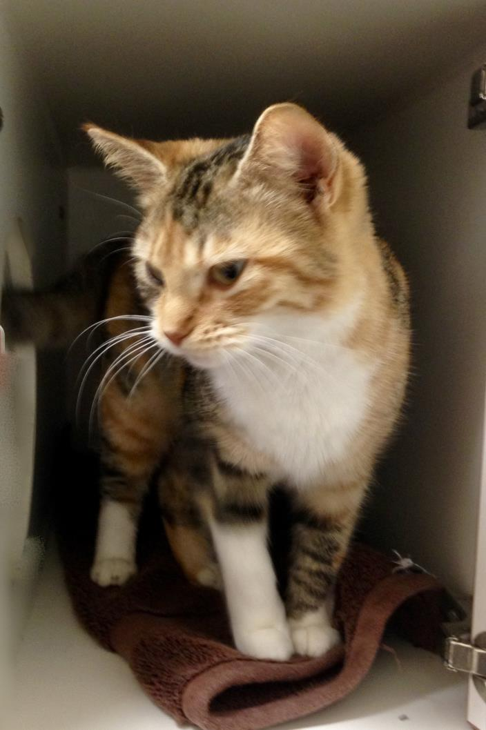 Adopt BLOSSOM a Calico or Dilute Calico Calico (short coat) cat in Putnam Hall