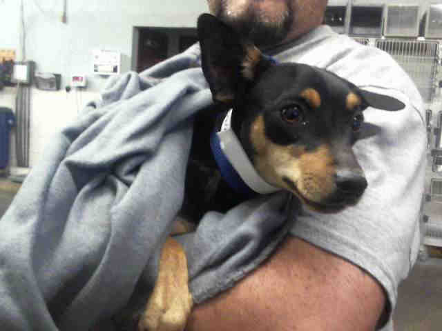 Adopt a Brown/Chocolate - with Black Miniature Pinscher / Mixed dog in Mesa