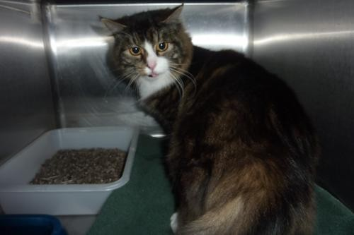 Adopt 116664 a Brown Tabby Domestic Longhair / Mixed (long coat) cat in Olympia