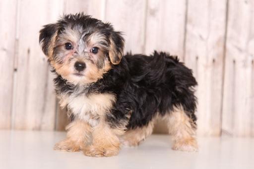 Yorkie-Poo PUPPY FOR SALE ADN-61318 - Bones Male Yorkie Poo