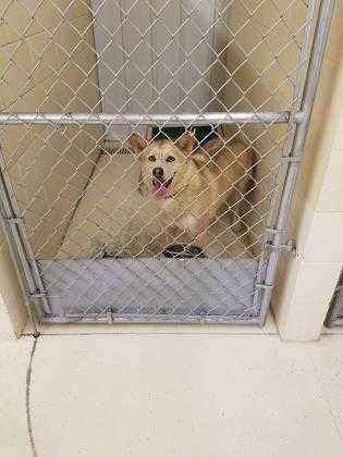 Adopt 37576778 a Tan/Yellow/Fawn Husky / Mixed dog in Boonville, IN (20505491)