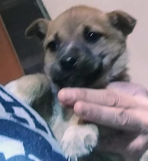Adopt CUPCAKE a Tan/Yellow/Fawn - with Black Shepherd (Unknown Type) / Mixed dog