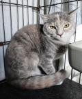 Adopt Tamika a Tortoiseshell Domestic Shorthair / Mixed (short coat) cat in