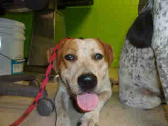 Treeing Walker Coonhound DOG FOR ADOPTION RGADN-782485 - YELLER - Treeing Walker