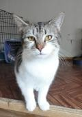Adopt Cheyenne a Gray or Blue (Mostly) Domestic Shorthair / Mixed (short coat)