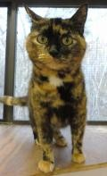 Adopt Dana a Calico or Dilute Calico Calico / Mixed (short coat) cat in Stuart