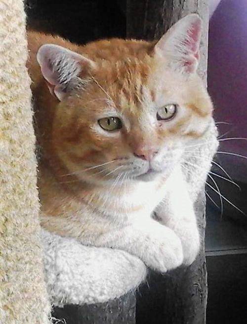 Adopt Steve aka Scrappy a Orange or Red Domestic Shorthair / Mixed (short coat)
