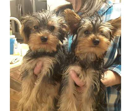 Teacup Yorkie,, puppies