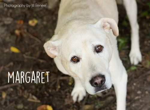 Adopt Maggie a Tan/Yellow/Fawn Labrador Retriever / Mixed dog in Liberty