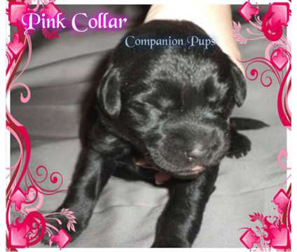 Black Female Labradoodle Puppy ~ See Video~ Ready Feb 17th