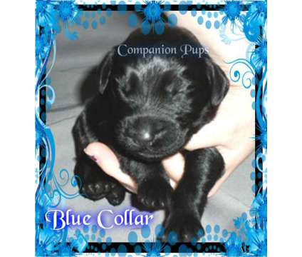 Labradoodles ~ Black Males ~ Playful Loving Puppies ~ SEE VIDEOS