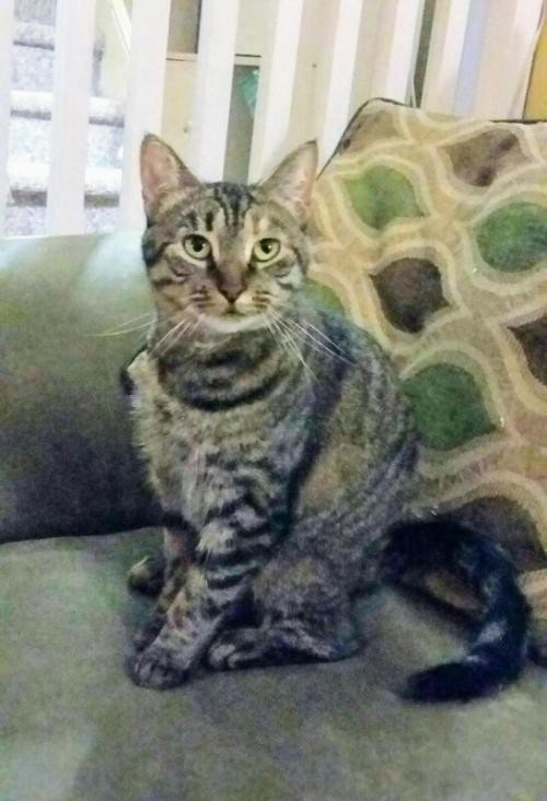 Adopt Jasmine a Brown Tabby Domestic Shorthair / Mixed (short coat) cat in