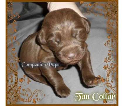 Labradoodle ~ Chocolate/Reds ~ Super Sweet ~ See Videos