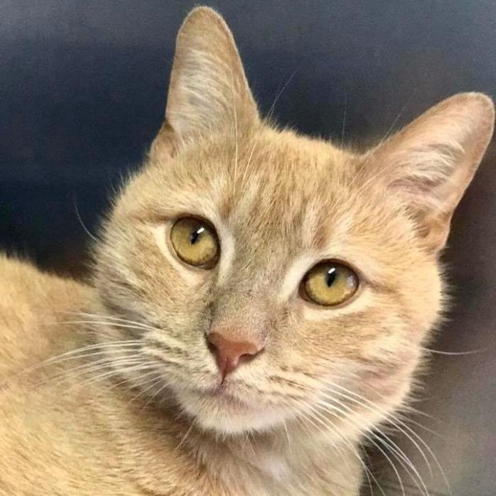 Adopt Waffles a Domestic Short Hair