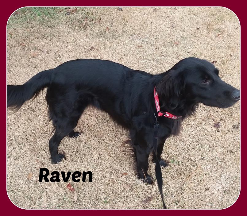 Adopt RAVEN a Flat-Coated Retriever