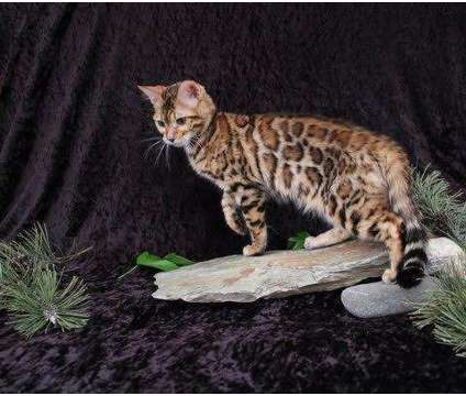 TICA - Bengal Kittens - DISCOUNTS TO DISABLED AND MILITARY