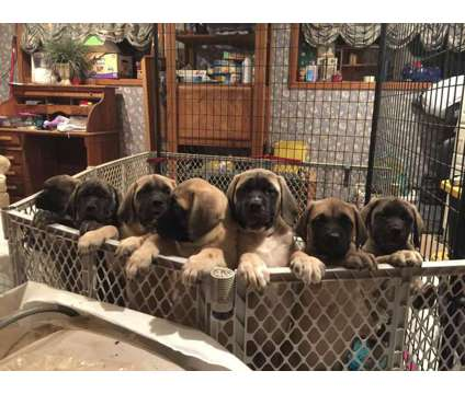 AKC English Mastiffs Born Oct 11, 2017