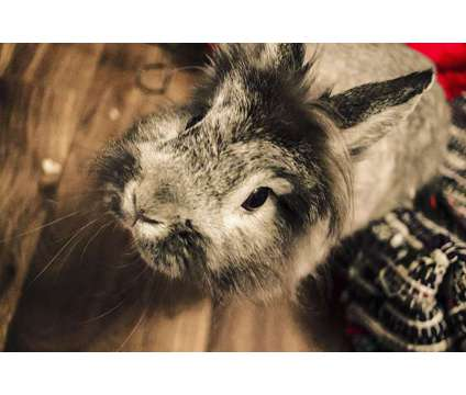 Lionhead rabbit in need of a new home