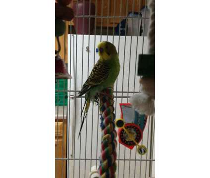 Jack the Budgie/Green Parakeet