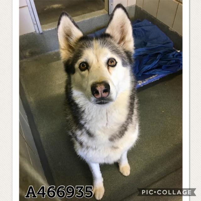 Siberian Husky DOG FOR ADOPTION RGADN-782427 - A466935 - Siberian Husky (medium
