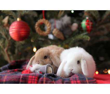 Pure bred holland lop baby bunnies