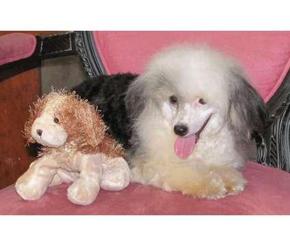 Chinese Crested Puppies HAIRLESS, HAIRY HAIRLESS AND POWDERPUFF