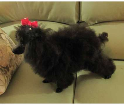 SILVER, Apricot, Red, Chocolate, Black or White Toy Poodle Puppies