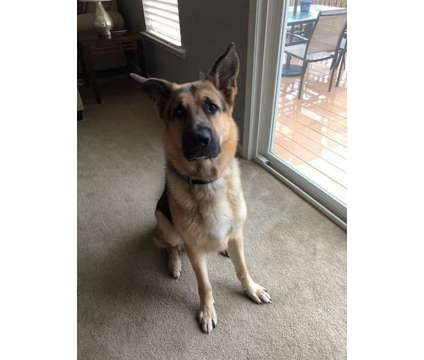 2 and 1/2 Male German Shepherd