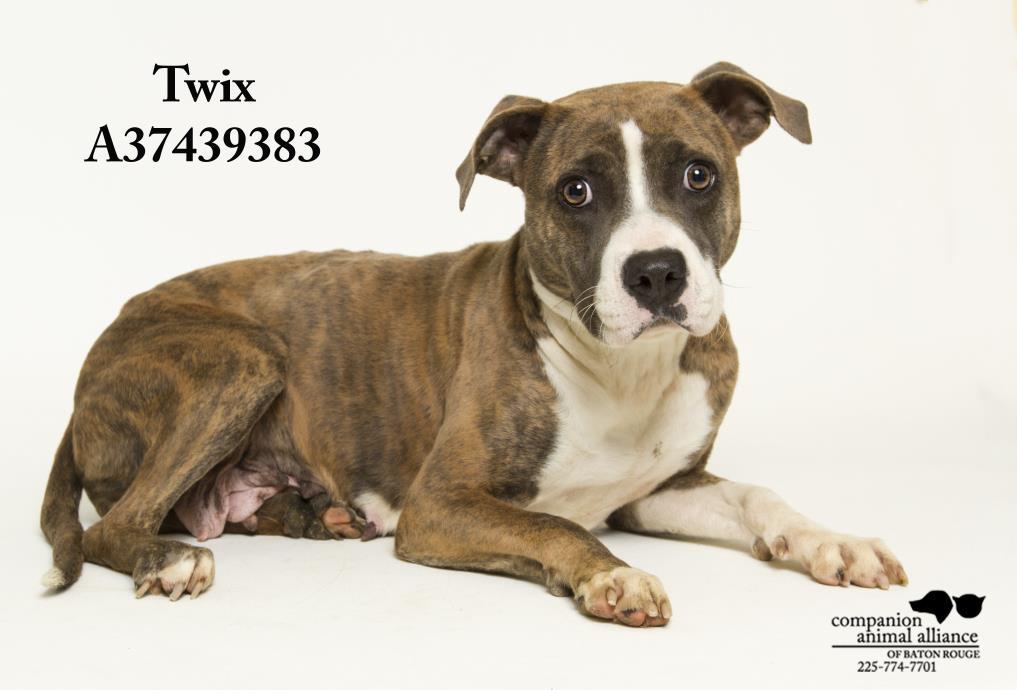 Adopt Twix a Boxer, Catahoula Leopard Dog