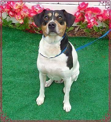 Adopt Ziggy a Rat Terrier, Jack Russell Terrier