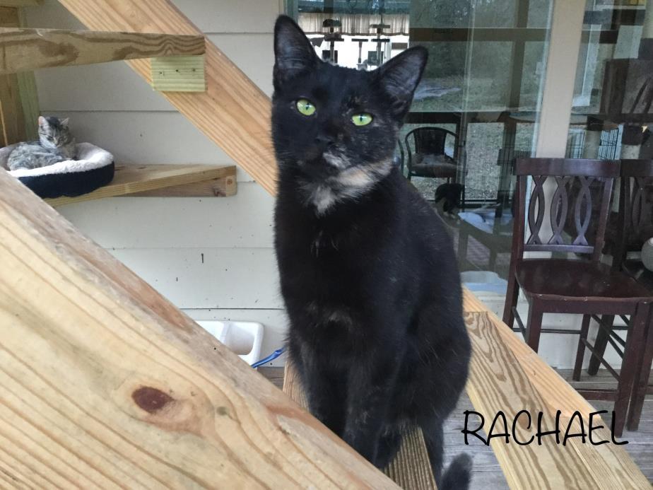 Adopt Rachael a Tortoiseshell