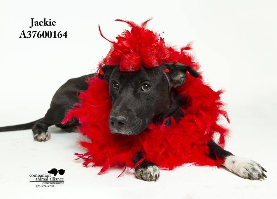 Adopt Jackie a Black Labrador Retriever, Terrier