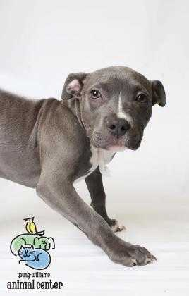Adopt Shannara a Gray/Blue/Silver/Salt & Pepper Mixed Breed (Large) / Mixed dog