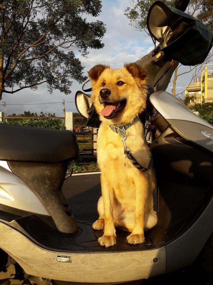 Adopt Sassy a Golden Retriever, Chow Chow