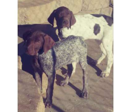 German Shorthair Pointer Puppy! microchip *health guarantee