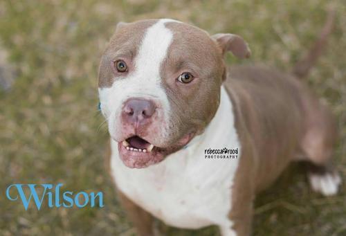 Adopt Wilson a Pit Bull Terrier