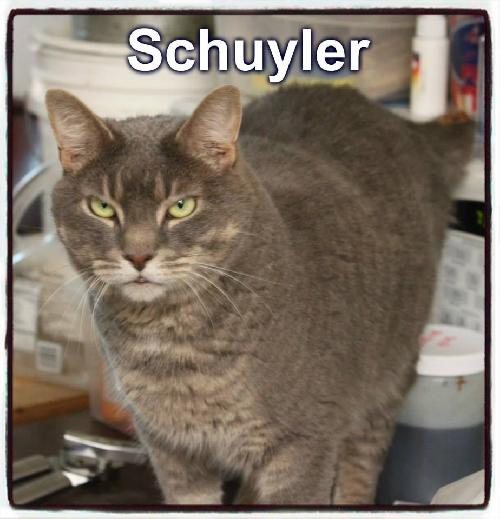 Adopt Schuyler a Domestic Short Hair