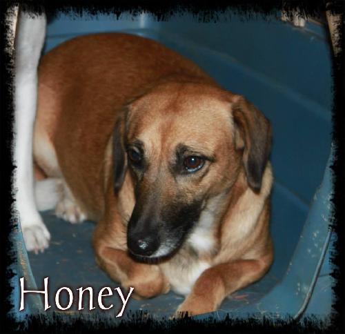 Adopt Honey a Shepherd