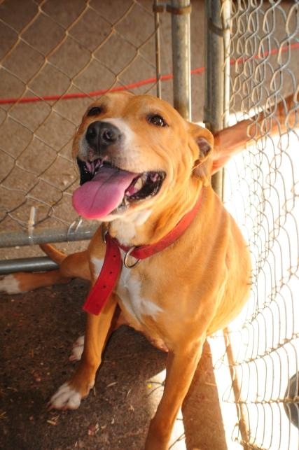 Adopt Stephanie a American Staffordshire Terrier