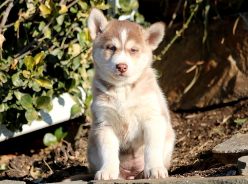 Siberian Husky PUPPY FOR SALE ADN-60669 - Siberian Husky Puppy For Sale